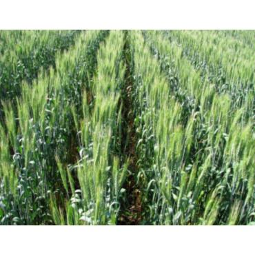 Пшениця озима Єсенія