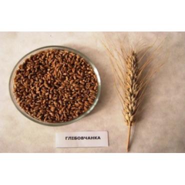 Пшениця озима Глібовчанка